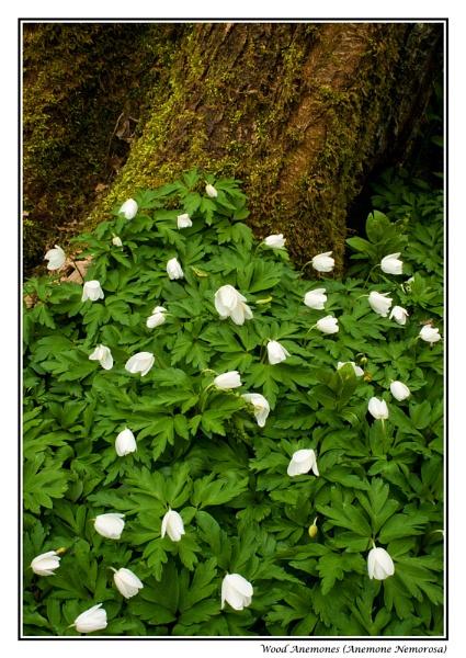 Wood Anemones by PeterBee
