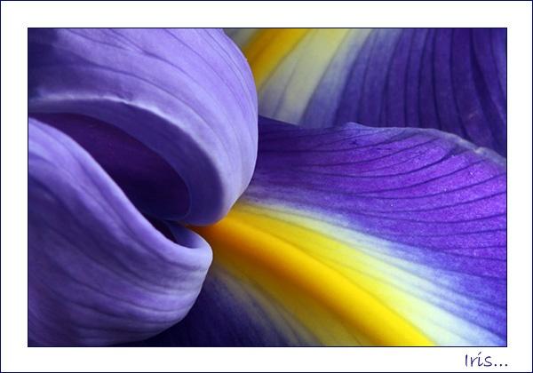 Iris by Gaz_H
