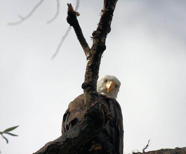 Eagle by chuckspics