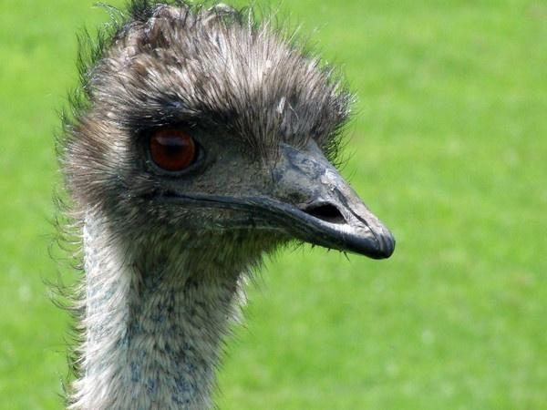 Emu by dannyboyok
