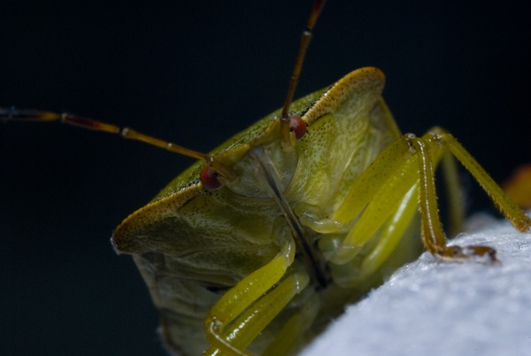 Shield Bug by Phatboy
