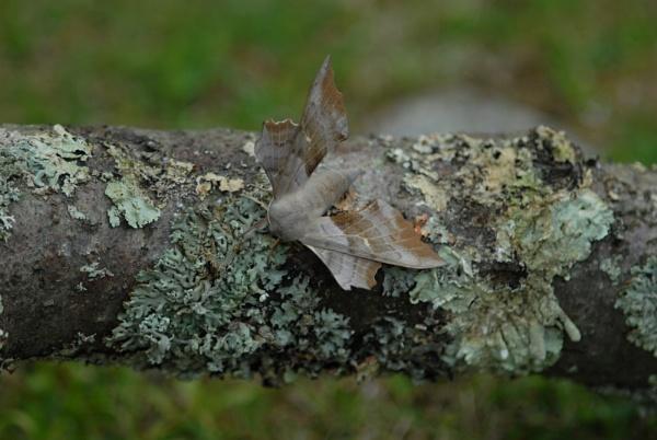 Hawk Moth by sneal