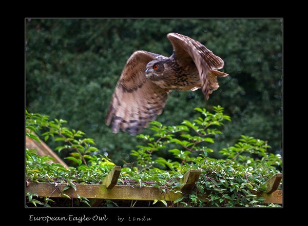 European Eagle Owl by Mynett