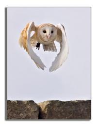 Harry the Barn Owl in Flight
