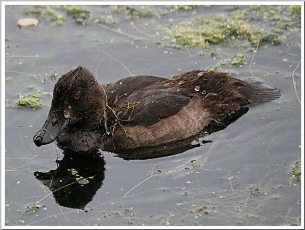 Ruddy Duck by betts