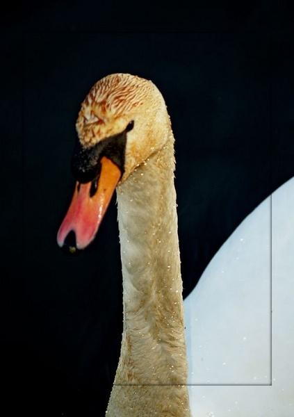 Swan by gossyboy