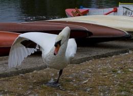 Swan balancing on one leg