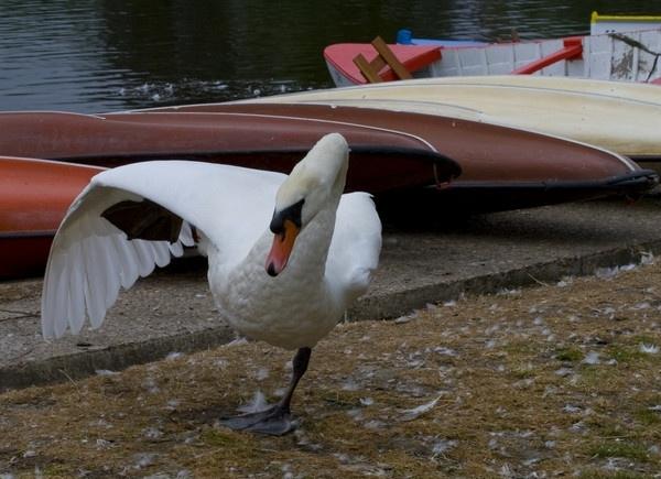 Swan balancing on one leg by wilbyn3237