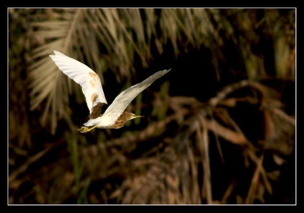 Squacco Heron by DanZed69
