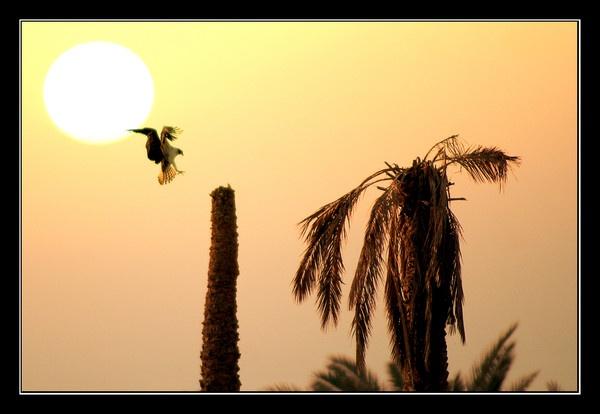 Osprey Sunset by DanZed69