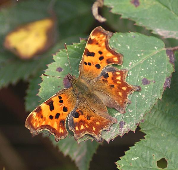 Butterfly ? Moth ? by SiSheff