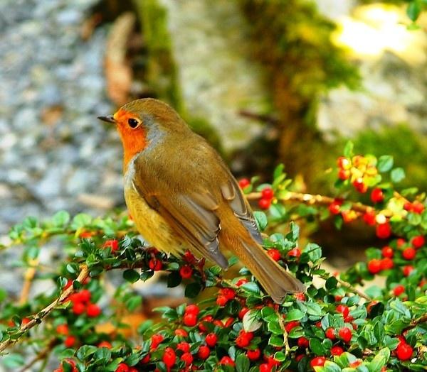 Robin on berries by Tony_B
