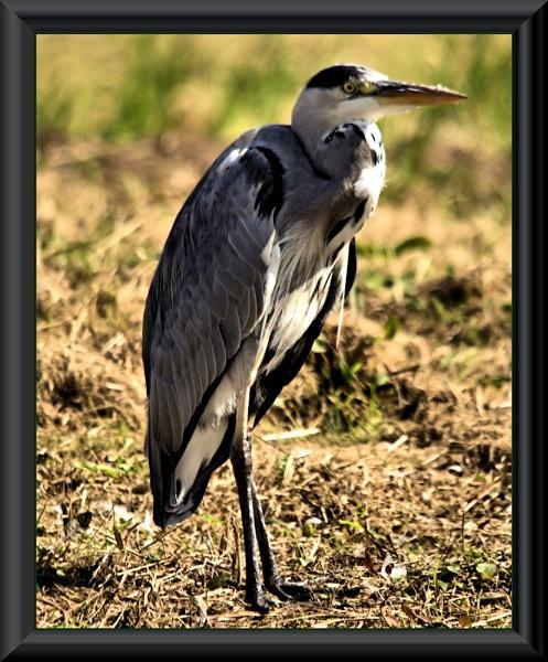 heron by ray_paul