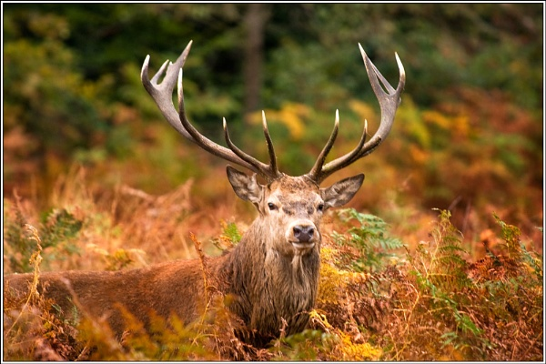 Stag at Richmond Park. by david357