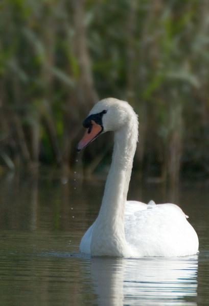 Swan by Emmog