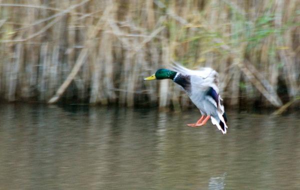 Mallard in flight by Emmog