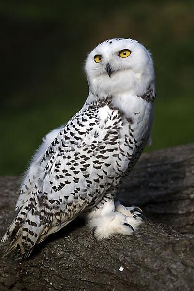 Snowy owl by paddyman