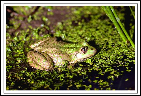 Marsh Frog by paddyman