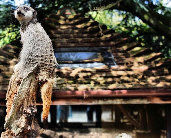 Meerkat by portia27493