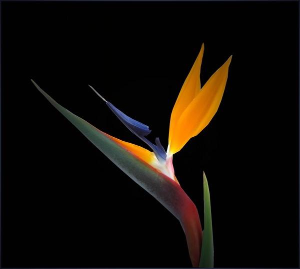 Bird of Paradise by csopi