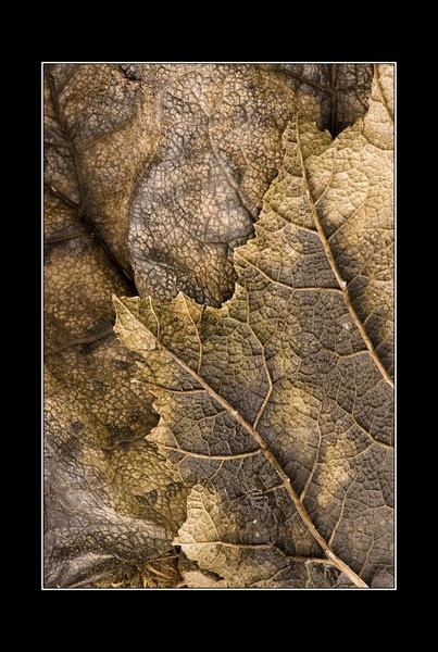 Gunner Leaf by iansnowdon