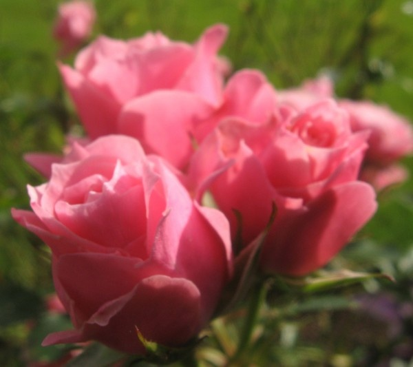 Pink roses by lolz