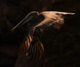 Brown Pelican Galapagos