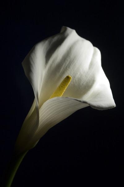 Calla Lily by FrankRobinson