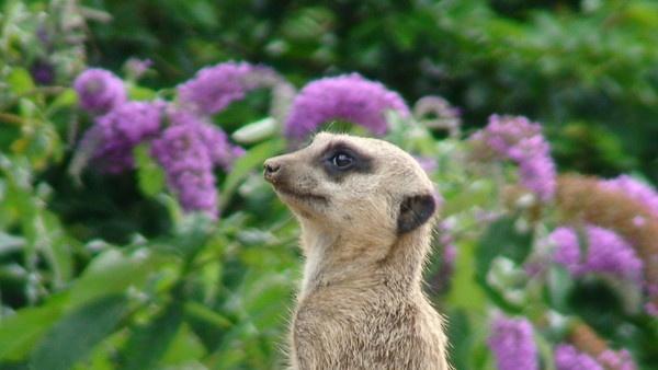 Meerkat by FunnyTrickster