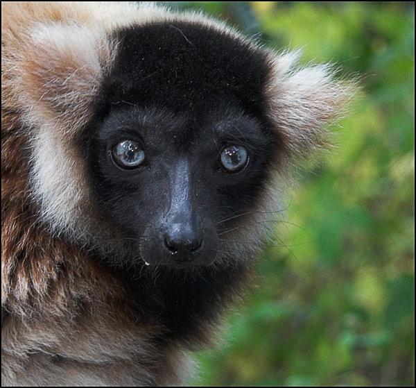 Hybrid Lemur by maggiem