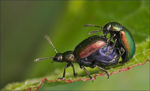 Bug \'Hanky-Panky\' by maggiem