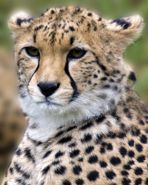 Cheetah by bppowell