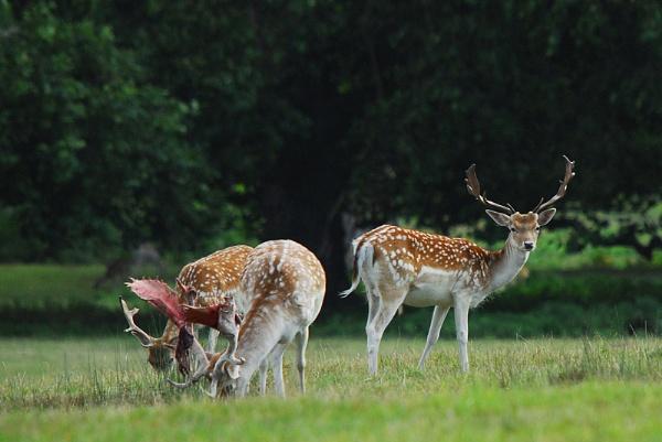 Fallow Deer Stags by DATMAN