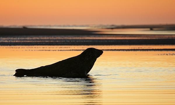 Grey Seal at Dawn by AntHolloway
