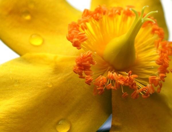 Snobby Flower by King0