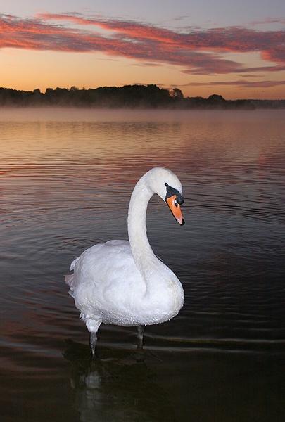 Mute Swan by trekpete
