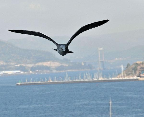 Mediterranean Gull by alfieB