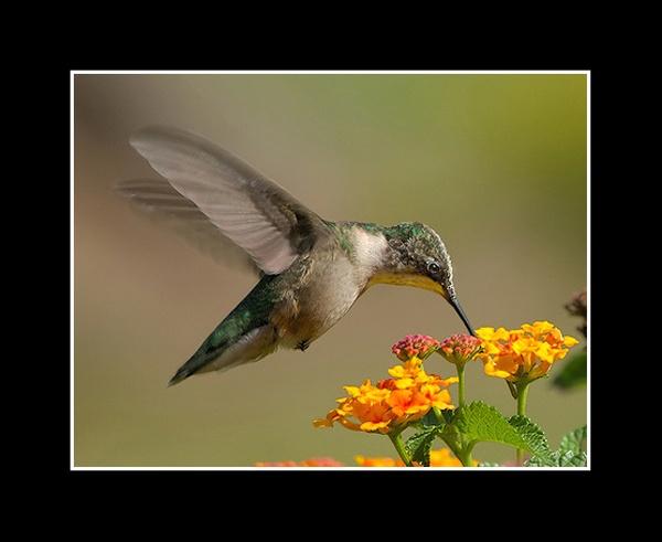 Rubt-Throated Hummingbird by Bertadd
