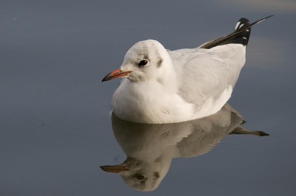 black headed gull by grandalf