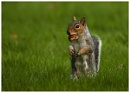 Squirrel with conker