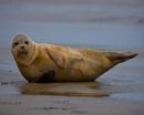 Posing Seal Pup