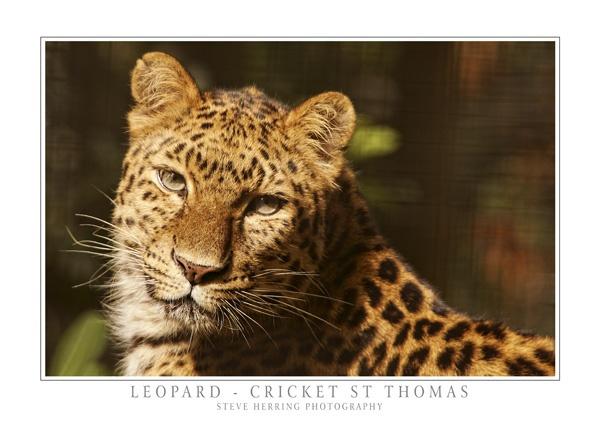 Leopard by sherring