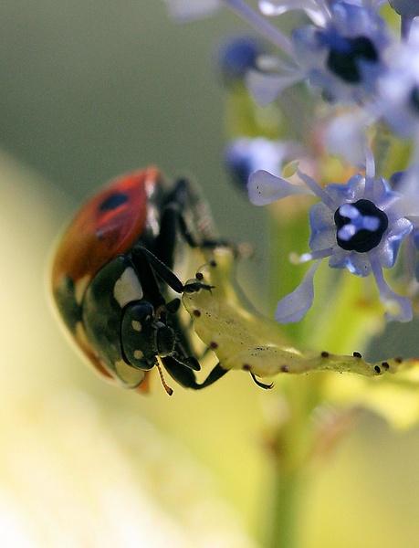 ladybird closeup by kraziteach