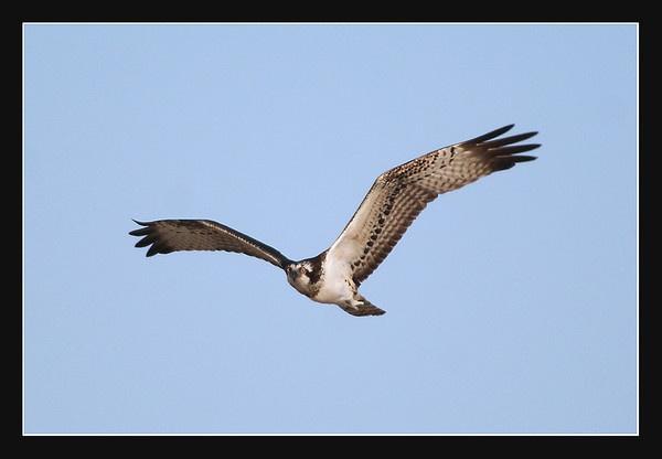 Osprey by DanZed69
