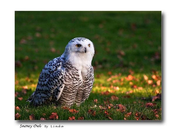 * snowy owl by Mynett