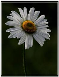 Daisy , daisy