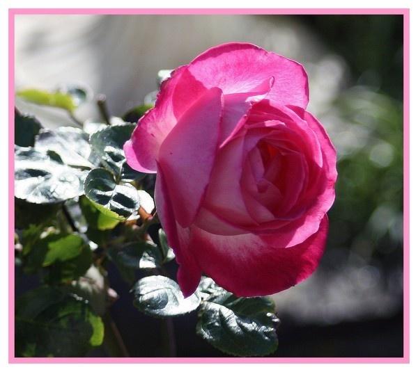 One Pink Rose by RobbieWales