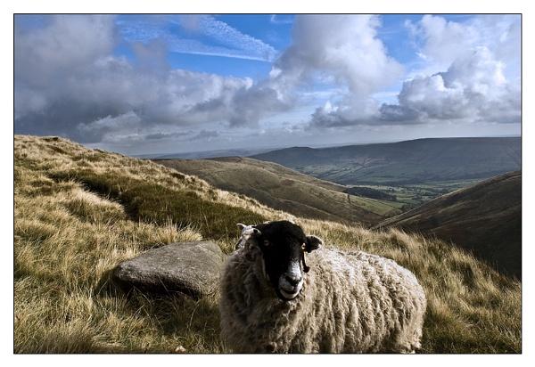 sheep by mah01