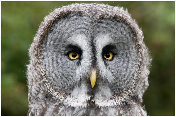 Great Grey Owl by david357