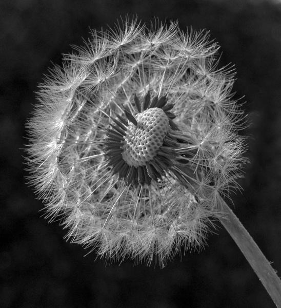 Dandelion seed head by Rachel99